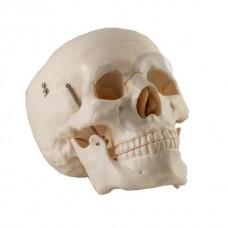 Модель черепа взрослого A014/1