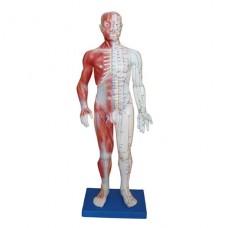 Модель для аккупунктуры и анатомии, человек 60см