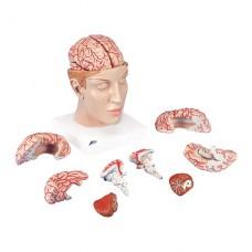 Модель мозга с артериями в основании головы, 8 частей