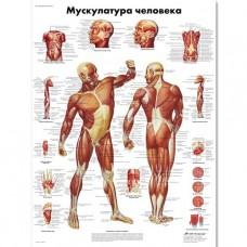 """Медицинский плакат """"Мускулатура человека"""""""