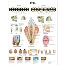 "Медицинский плакат ""Зубы человека"""