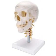Модель черепа с шейными позвонками A018