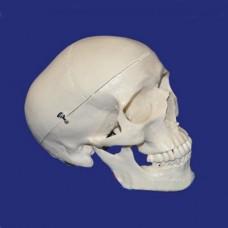 Модель черепа взрослого человека в натуральную величину из 3-х частей
