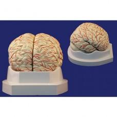 Мозг с артериями, 8 частей, на подставке SMD122B