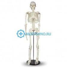 Модель скелета человека 85см А004
