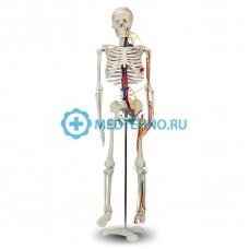 Модель скелета человека с ковеносными сосудами и нервами 85см