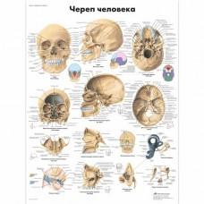 "Анатомический плакат ""Череп человека"""