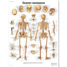 "Медицинский плакат ""Скелет человека"""