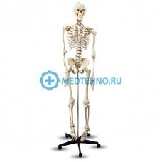 """Модель скелета L001 181см. (""""Скелет человека"""")"""