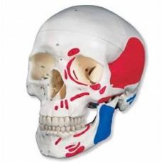 Модель черепа раскрашенная - 3 части A016