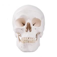 Модель черепа, 3 части