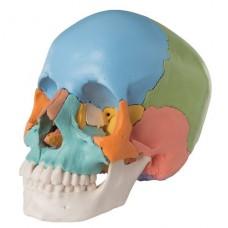 Модель черепа человека, разборная, цветная, 22 части A291