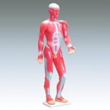 Модель мышечной системы человека