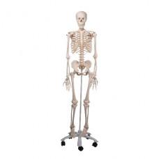 Модель скелета «Stan» на 5-рожковой роликовой стойке (176.5 см.)