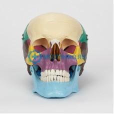 Модель черепа человека в натуральную величину, раскрашенная