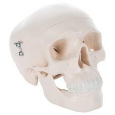 Модель черепа уменьшенная, 3 части