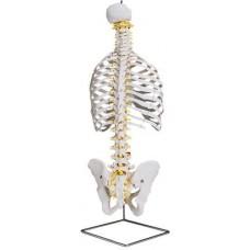 Модель позвоночника с грудной клеткой и тазом A043